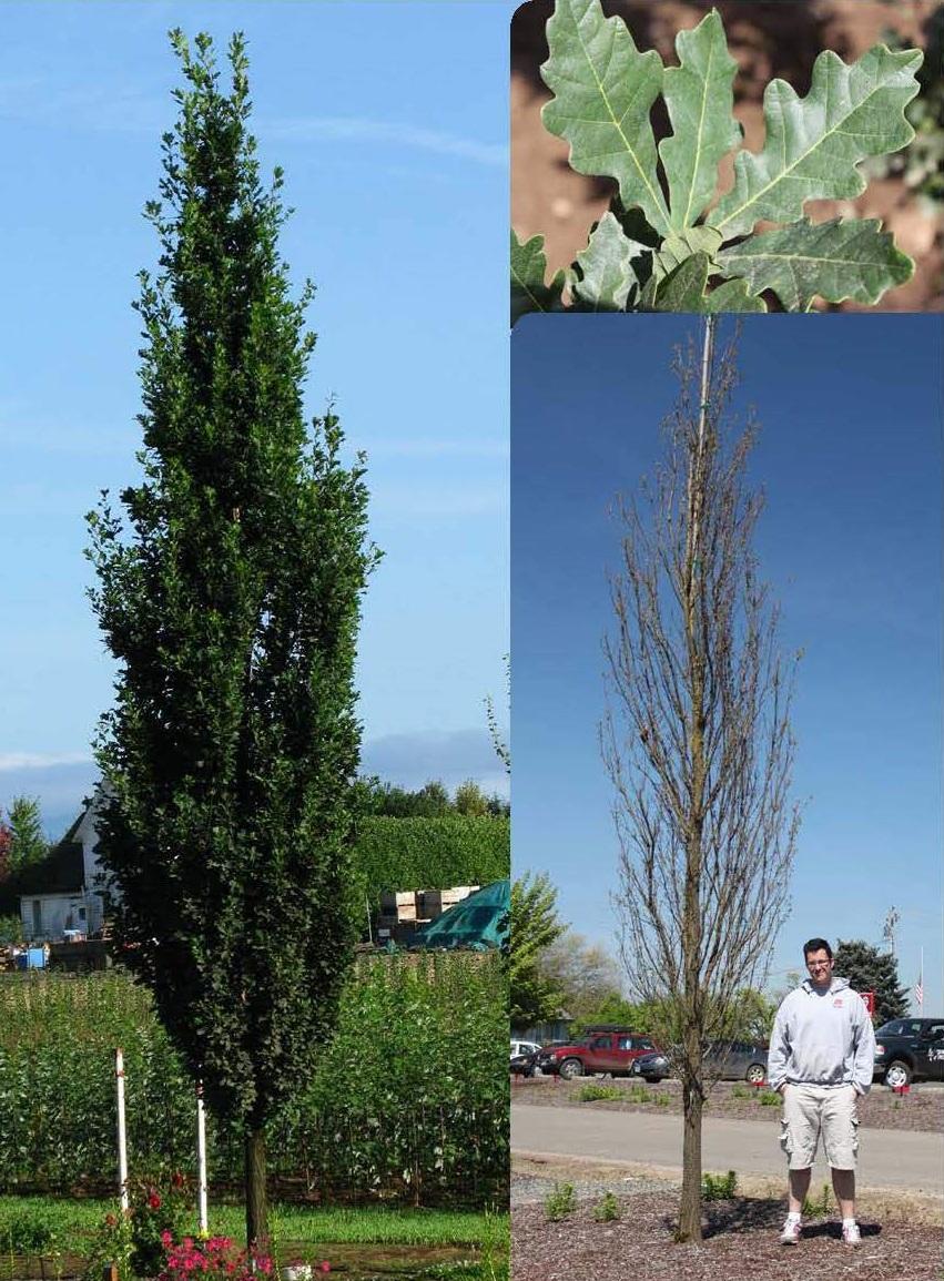 Skinny Genes® Oak: 45' Ht.; 10' Sp.