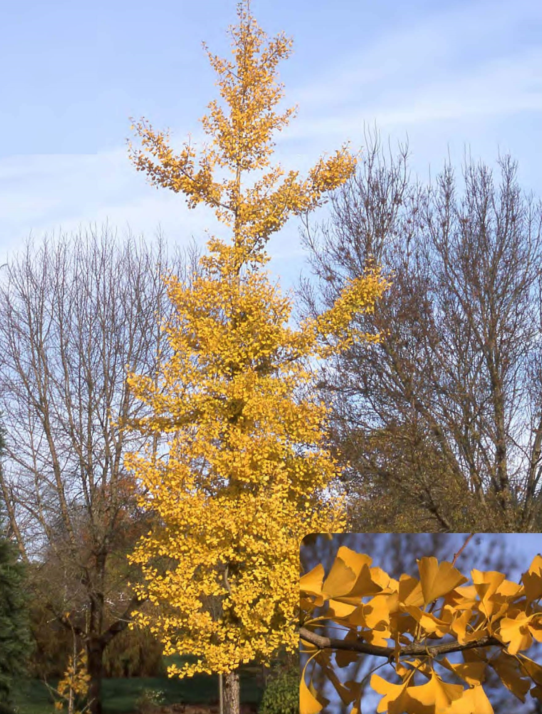 Sentry® Ginkgo: 40' Ht.; 15' Sp.