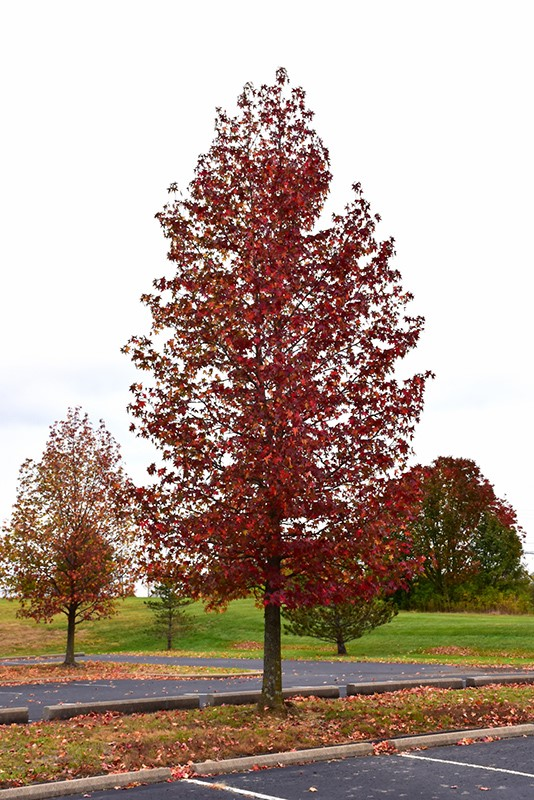 Sweetgum (fruitless)