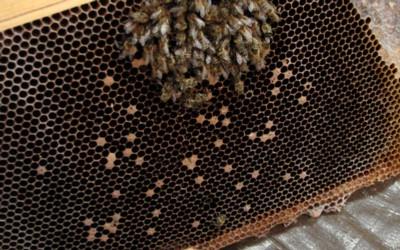 Mite/virus dwindling, scattered perforated capped brood, weakened cluster
