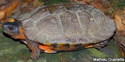 <em>La tortue des bois est une espèce faunique menacée.</em>