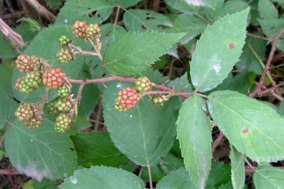 <em>Rubus spp</em>